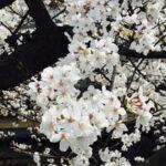 桜シーズン到来!オススメのフォトウェディング 撮影3選!